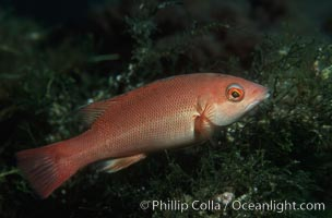 California sheephead, juvenile. Catalina Island, California, USA, Semicossyphus pulcher, natural history stock photograph, photo id 01935