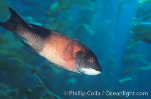 California sheephead, adult male, Semicossyphus pulcher, San Clemente Island