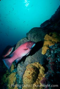 Sheephead and sponges, Bens Rock, Semicossyphus pulcher