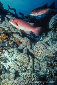 Sheephead and starfish, Roca Ben, Semicossyphus pulcher