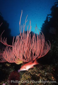 Pacific torpedo ray, Farnsworth Banks, Catalina, Torpedo californica, Semicossyphus pulcher, Lophogorgia chilensis, Catalina Island