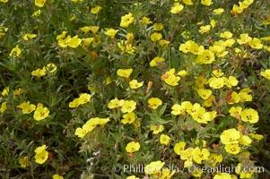 California sun cup blooms in spring, Batiquitos Lagoon, Carlsbad, Cammisonia bistorta