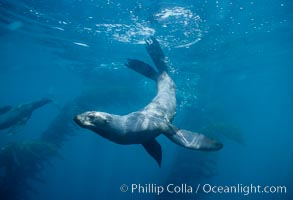 Northern fur seal., Callorhinus ursinus,  Copyright Phillip Colla, image #00965, all rights reserved worldwide.