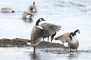 Canada geese on the Yellowstone River, Branta canadensis, Yellowstone National Park, Wyoming
