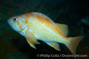 Canary rockfish, Sebastes pinniger
