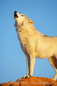 Gray wolf howling, Canis lupus