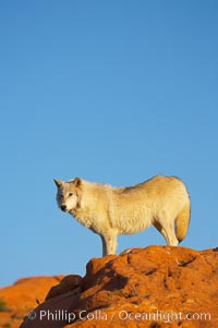 Gray wolf., Canis lupus, natural history stock photograph, photo id 12400