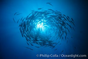Schooling fish, circling jacks, Las Animas, Sea of Cortez, Baja California, Caranx sexfasciatus