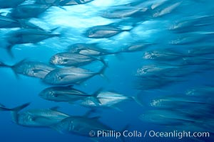Bigeye trevally jacks, motion blur, schooling, Caranx sexfasciatus, Darwin Island