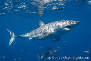A great white shark swims through the clear waters of Isla Guadalupe, far offshore of the Pacific Coast of Mexico&#39;s Baja California. Guadalupe Island is host to a concentration of large great white sharks, which visit the island to feed on pinnipeds and use it as a staging area before journeying farther into the Pacific ocean, Carcharodon carcharias, Guadalupe Island (Isla Guadalupe)