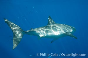 A great white shark swims away, showing its powerful caudal fin (tail), short anal fins on its underside, tall dorsal fin on top and sweeping winglike pectoral fins, Carcharodon carcharias, Guadalupe Island (Isla Guadalupe)