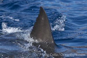 Great white shark, dorsal fin extended out of the water as it swims near the surface, Carcharodon carcharias, Guadalupe Island (Isla Guadalupe)