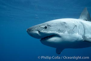 Great white shark, underwater. Guadalupe Island (Isla Guadalupe), Baja California, Mexico, Carcharodon carcharias, natural history stock photograph, photo id 21413