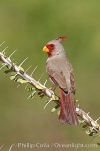Pyrrhuloxia, male. Amado, Arizona, USA, Cardinalis sinuatus, natural history stock photograph, photo id 22894