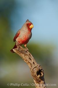 Pyrrhuloxia, male, Cardinalis sinuatus, Amado, Arizona