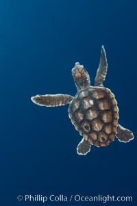 A young loggerhead turtle.  This turtle was hatched and raised to an age of 60 days by a turtle rehabilitation and protection organization in Florida, then released into the wild near the Northern Bahamas, Caretta caretta