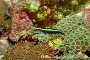 Unidentified Caribbean goby