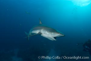 Caribbean reef shark about to bite a piece of bait, Carcharhinus perezi