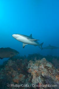 Caribbean reef shark swims over a coral reef, Carcharhinus perezi