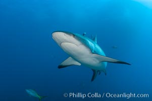 Caribbean reef shark, Carcharhinus perezi