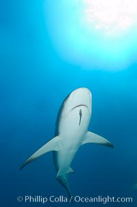 Caribbean reef shark with small sharksucker visible on underside. Bahamas, Carcharhinus perezi, Echeneis naucrates, natural history stock photograph, photo id 10553