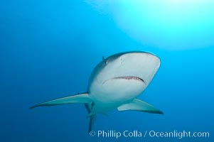 Caribbean reef shark. Bahamas, Carcharhinus perezi, natural history stock photograph, photo id 10555