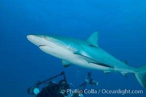 Caribbean reef shark swims in front of underwater photographer Keith Grundy, Carcharhinus perezi