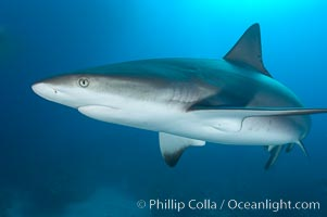 Caribbean reef shark, ampullae of Lorenzini visible on snout, Carcharhinus perezi