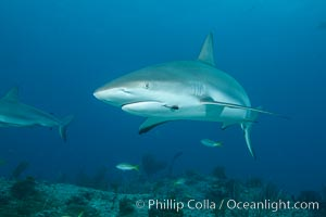 Caribbean reef shark with fishing hook, Carcharhinus perezi