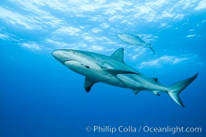 Caribbean reef shark with fishing hook. Bahamas, Carcharhinus perezi, natural history stock photograph, photo id 31982