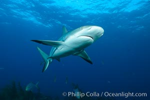 Caribbean reef shark. Bahamas, Carcharhinus perezi, natural history stock photograph, photo id 31983