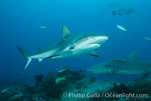 Caribbean reef shark. Bahamas, Carcharhinus perezi, natural history stock photograph, photo id 31985