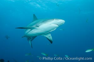 Caribbean reef shark. Bahamas, Carcharhinus perezi, natural history stock photograph, photo id 31986