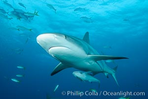 Caribbean reef shark. Bahamas, Carcharhinus perezi, natural history stock photograph, photo id 31988