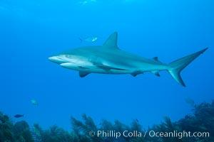 Caribbean reef shark. Bahamas, Carcharhinus perezi, natural history stock photograph, photo id 31990