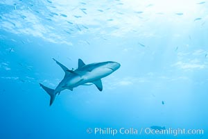Caribbean reef shark. Bahamas, Carcharhinus perezi, natural history stock photograph, photo id 31993