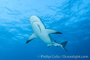 Caribbean reef shark. Bahamas, Carcharhinus perezi, natural history stock photograph, photo id 32004