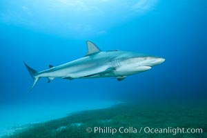 Caribbean reef shark swimming over eel grass. Bahamas, Carcharhinus perezi, natural history stock photograph, photo id 32007