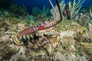 Caribbean spiny lobster, Panulirus argus, Grand Cayman Island