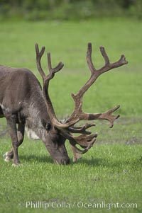 Caribou (reindeer)., Rangifer tarandus, natural history stock photograph, photo id 19095