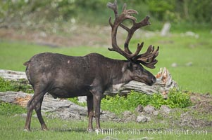 Caribou (reindeer)., Rangifer tarandus, natural history stock photograph, photo id 19096