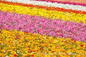 The Carlsbad Flower Fields, 50+ acres of flowering Tecolote Ranunculus flowers, bloom each spring from March through May. Carlsbad Flower Fields Picture.