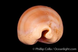 Carnelian Cowrie, Cypraea carneola crassa, natural history stock photograph, photo id 08004