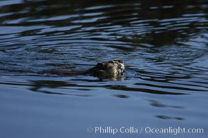 A beaver swims on Heron Pond, Castor canadensis, Grand Teton National Park, Wyoming