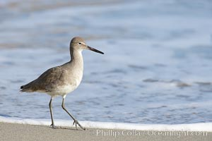Willet walking on sand at low tide, sunrise, Catoptrophurus semipalmatus, La Jolla, California