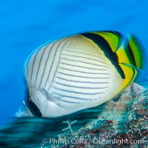 Chaetodon ulietensis Pacific double-saddle butterflyfish, Fiji, Chaetodon ulietensis, Namena Marine Reserve, Namena Island