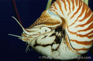 The chambered nautilus is a living fossil whose relatives date back 100s of millions of years. The nautilus lives at great depths (1800) within fore-reef habitats of the Indian and Pacific oceans. It is an active swimmer, propelling itself close to the sea floor by expelling  water from its movable siphon., Nautilus pompilius, natural history stock photograph, photo id 07799