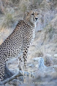 Cheetah., Acinonyx jubatus, natural history stock photograph, photo id 17972