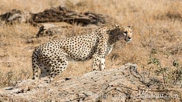 Cheetah, Amboseli National Park, Acinonyx jubatus