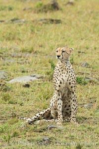 Cheetah, Maasai Mara National Reserve. Maasai Mara National Reserve, Kenya, Acinonyx jubatus, natural history stock photograph, photo id 29842